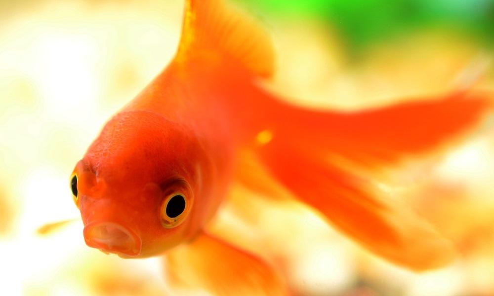 Ne faites pas ces erreurs si vous d cidez d 39 acheter un for Acheter poisson rouge casablanca