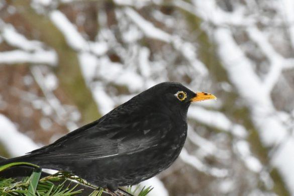 Cet hiver, devenez un sauveur d'oiseaux!